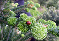 Fraser fir branch with ladybug