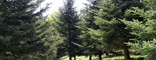 Mature Fraser Fir in seed orchard