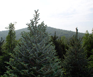 Silvery Fraser Fir in field