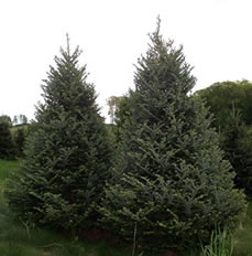 Two stunning Fraser Fir trees in field